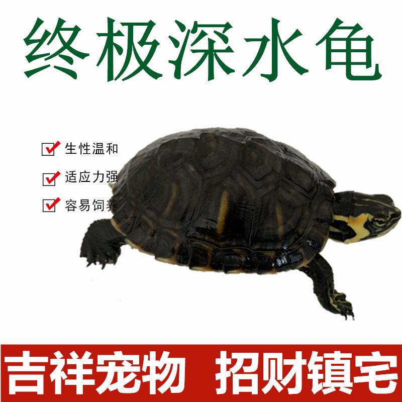 深水活物冷水长寿龟家养观赏淡水10月12日最新优惠