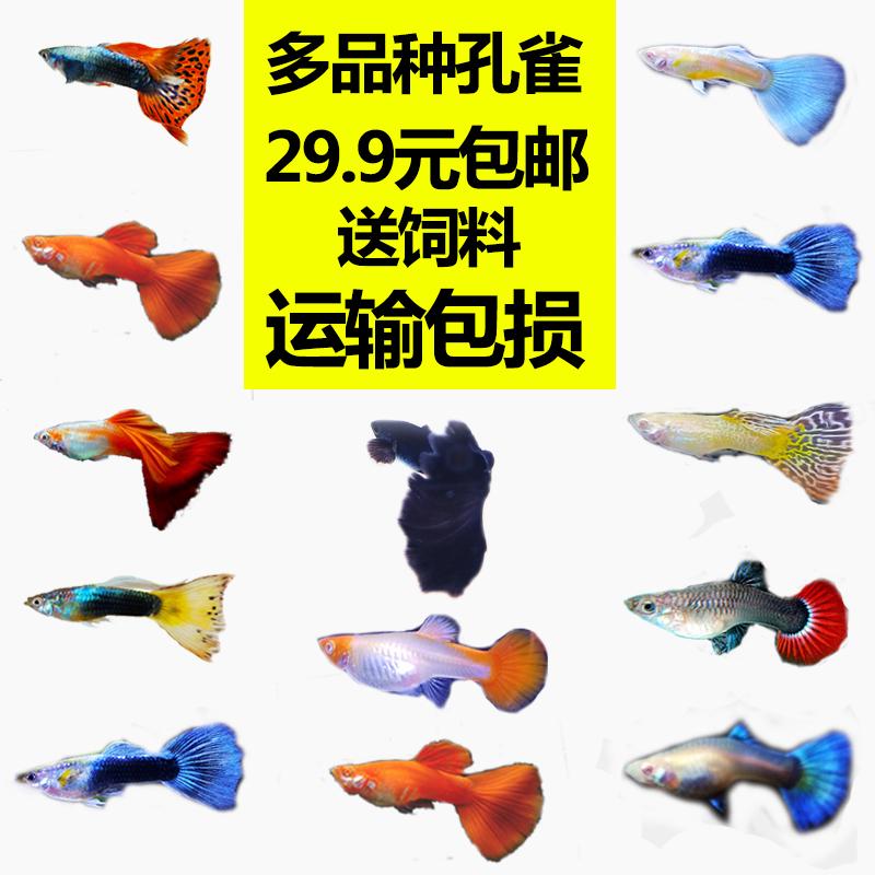活体更新孕母临产易活金鱼孔雀鱼满7.50元可用1.5元优惠券