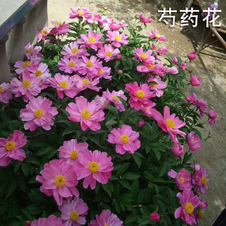 Perennial perennial flowers flower seeds easy to grow peony flower seeds four seasons easy to live garden balcony flowers roots autumn and winter