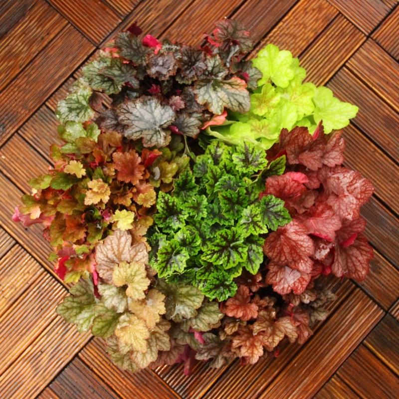 矾根花苗植物 室外庭院花园调色板盆栽 耐寒耐冻绿植植物花卉