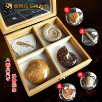 天然8种古生物动物鱼化石标本盒三叶虫菊石科普教学儿童生日礼物