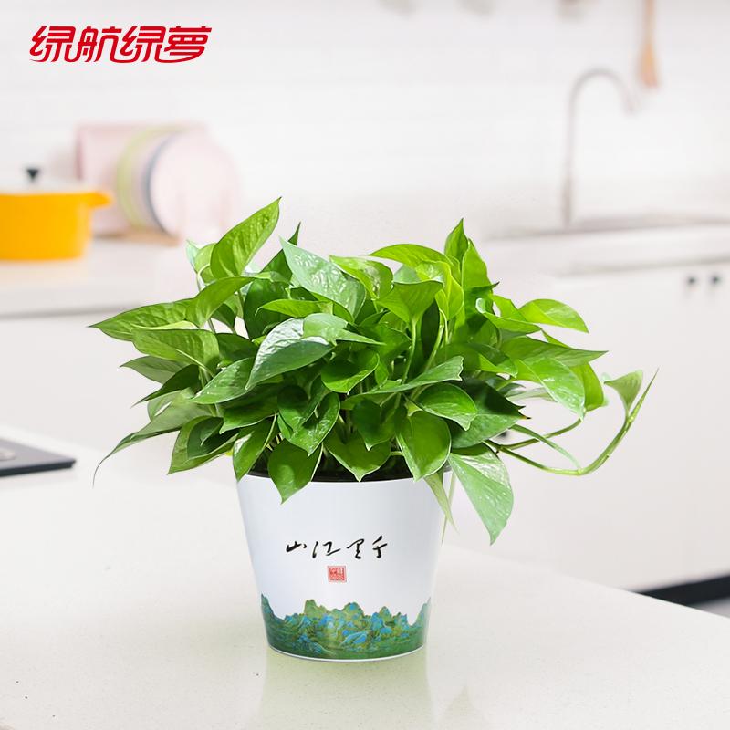 绿航绿萝绿植室内办公盆栽花卉净化空气吸除甲醛四季常绿植物绿箩