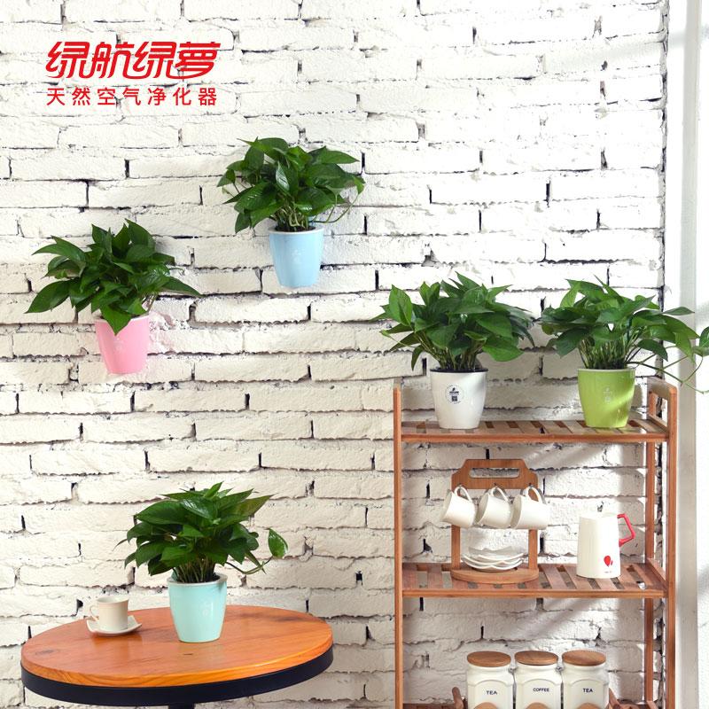 绿航绿萝盆栽植物室内花卉水培好养四季常青净化空气壁挂创意绿植