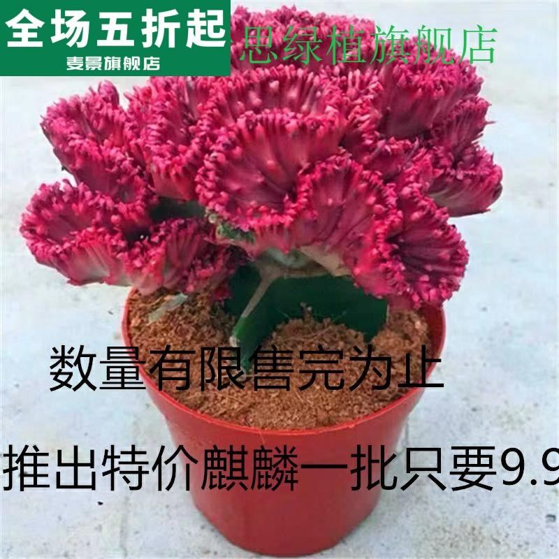 。彩麒麟盆栽红麒麟室内庭院镇宅桌面仙人掌多肉玉麒麟彩春峰