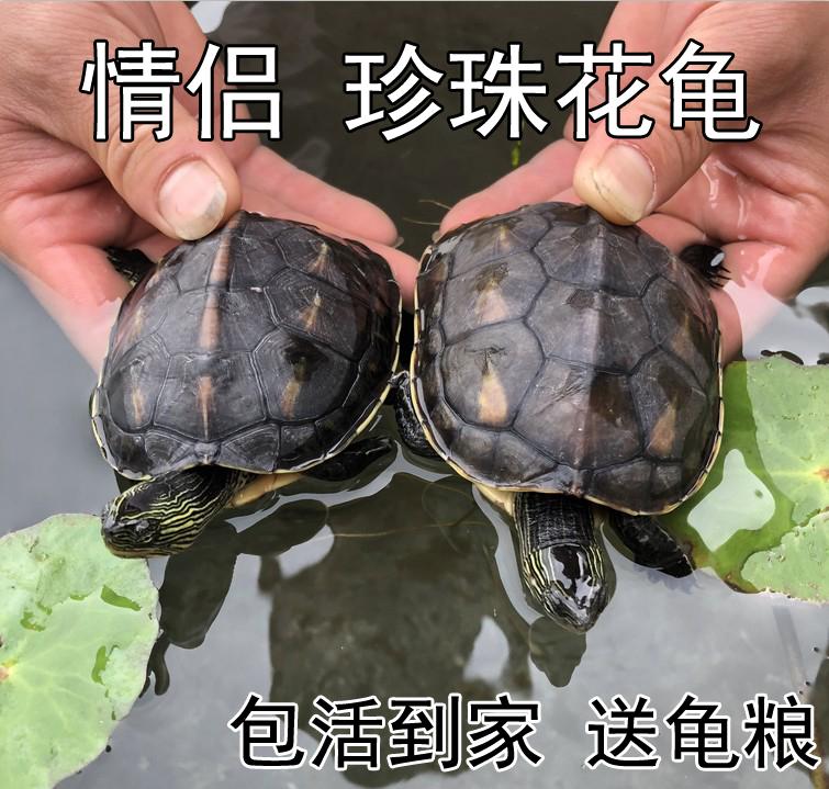 珍珠花龟 活体乌龟六线草龟苗情侣招财龟 外塘观赏水龟  活物包邮