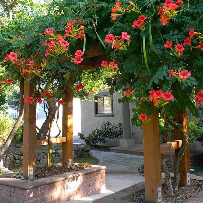 凌霄花苗阳台四季常青盆栽楼顶绿化庭院地栽攀援爬藤植物树苗