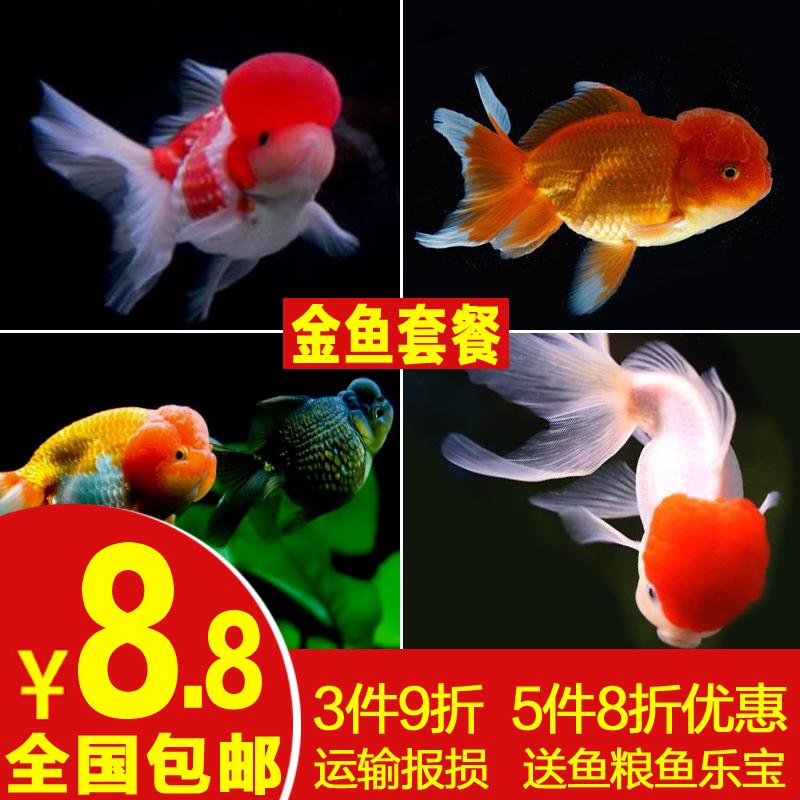 金鱼活体观赏鱼淡水鱼冷水小金鱼红狮蝶尾黑龙睛锦鲤鱼小型鱼包邮