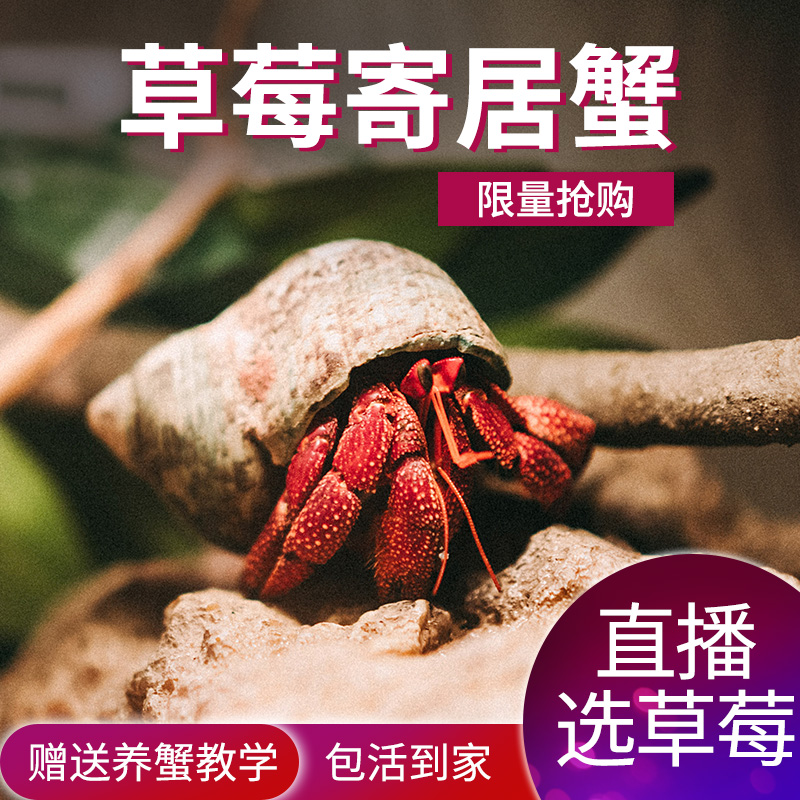 新品淡水宠物【草莓寄居蟹】陆地寄居蟹迷你宠物蟹宠物寄居蟹热卖