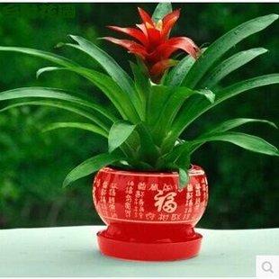包邮 鸿运当头盆景室内植物红花卉盆栽绿植凤梨吸甲醛阳台办公客厅