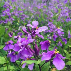 二月兰种子耐寒耐荫花卉种子工程绿化景观种子草坪种子花籽花卉子