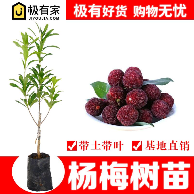 杨梅苗树苗嫁接早熟六月红仙居东魁荸荠杨梅苗南方种植果树苗地栽