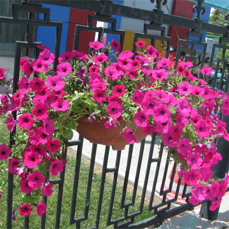 49包邮重瓣矮牵牛花苗花种子苗旋转垂吊进口四季开花阳台庭院盆栽