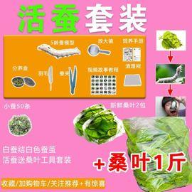新鮮桑葉現摘桑葉新鮮喂蠶寶寶飼料小蠶嫩桑葉蠶食物500克1斤包郵圖片