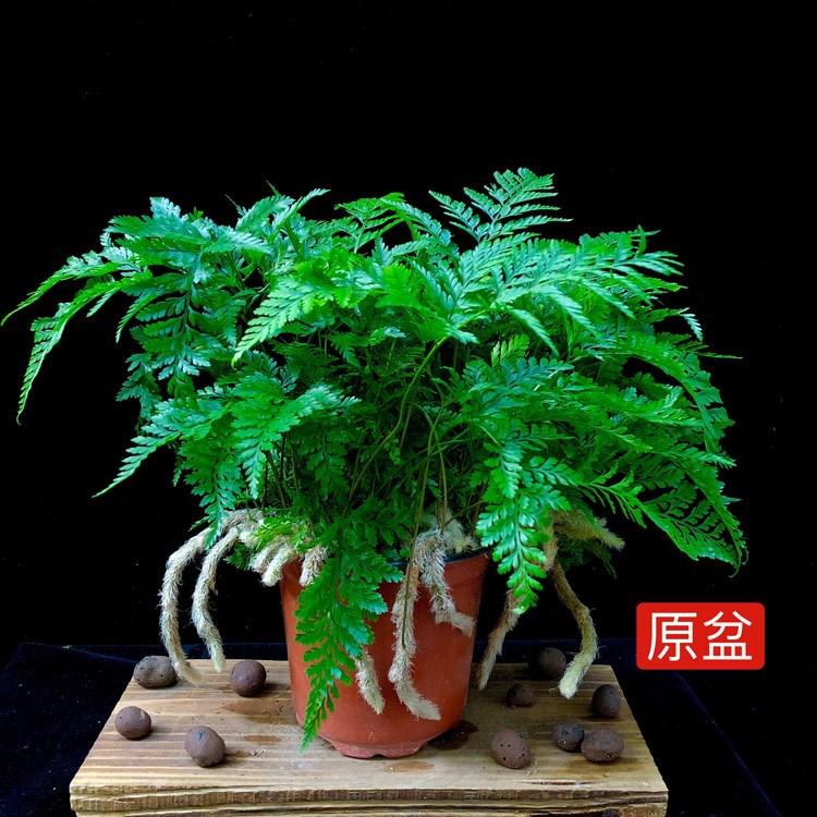 狼尾蕨盆栽兔脚蕨吸甲醛绿植办公室室内四季花卉植物蕨类耐寒耐荫