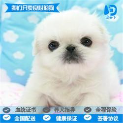 出售赛级纯白京巴幼犬纯种北京狮子狗小型犬茶杯家养活体宠物狗狗
