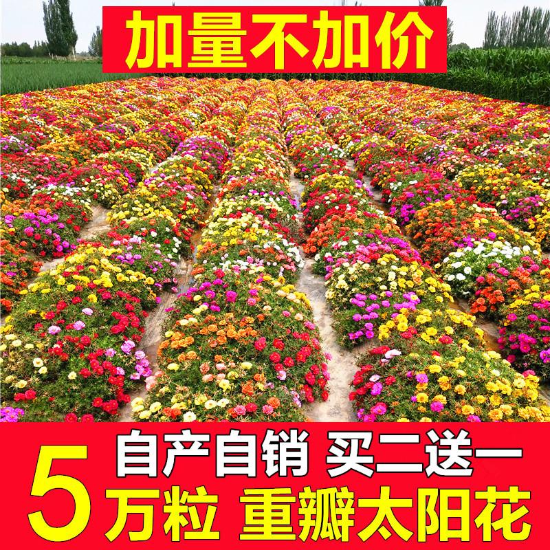 重瓣太阳花种子混色四季易活开花不断室内阳台花卉盆栽花种籽子