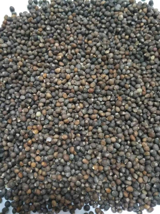 Purple perilla seed / purple perilla seed all kinds of bird food / nutrition higher 500g (can be used as Chinese Medicine)