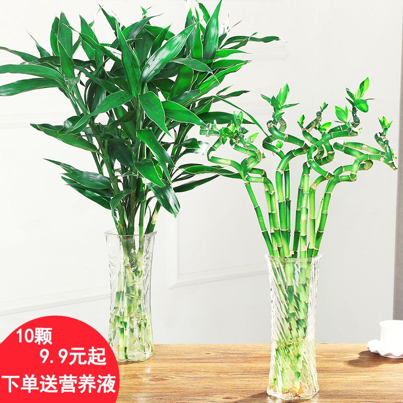 富贵竹水培植物观音竹转运竹弯竹绿萝桌面小盆栽大叶竹开运竹龙竹