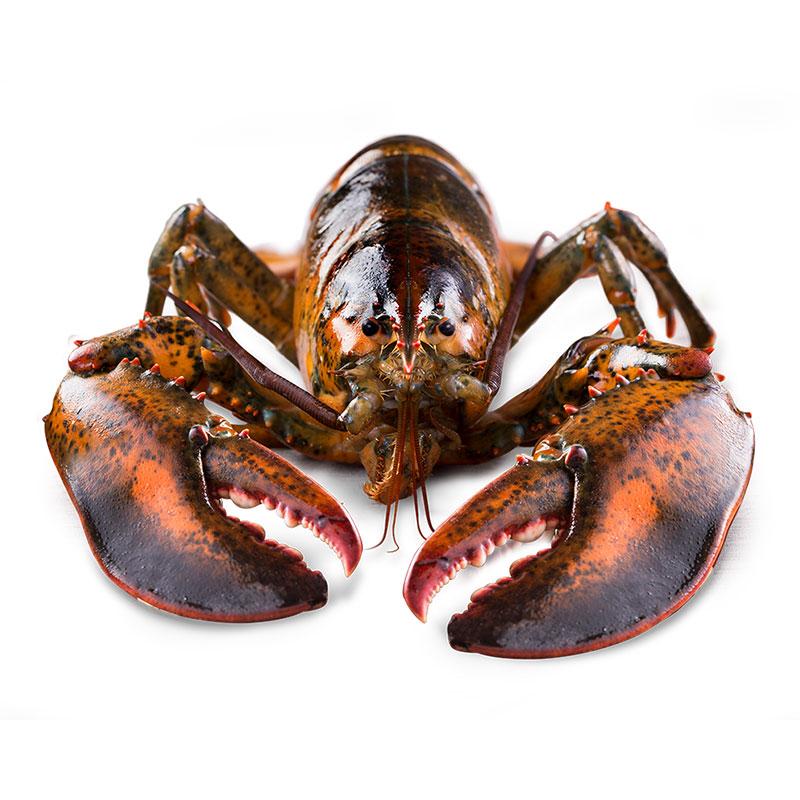 【龙虾】波士顿大龙虾澳龙鲜活特大波龙海鲜水产大活虾