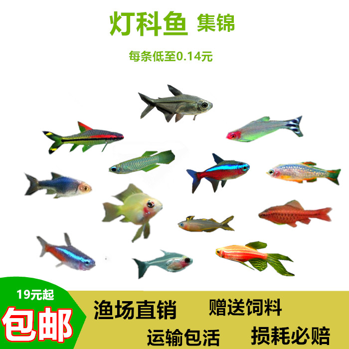 热带鱼金波子红绿灯宝莲灯斑马淡水小型群游观赏灯科金鱼活体包邮