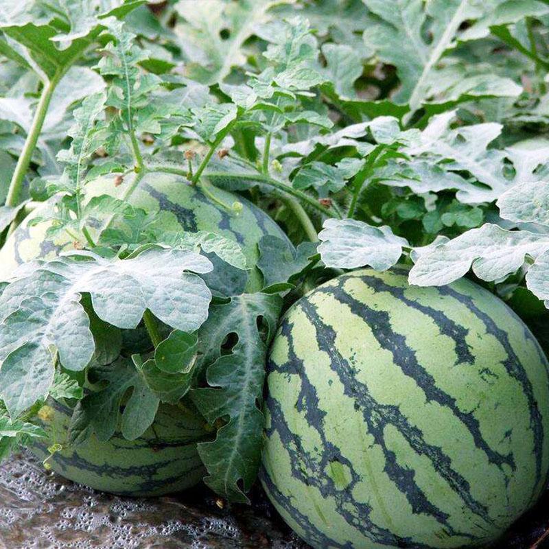 西瓜种籽非转基因农家田园春夏季懒汉高产早熟甜水果有机蔬菜种子