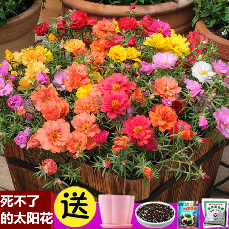 太阳花种子四季开花不断满天星种籽室内植物花卉盆栽春季庭院播种