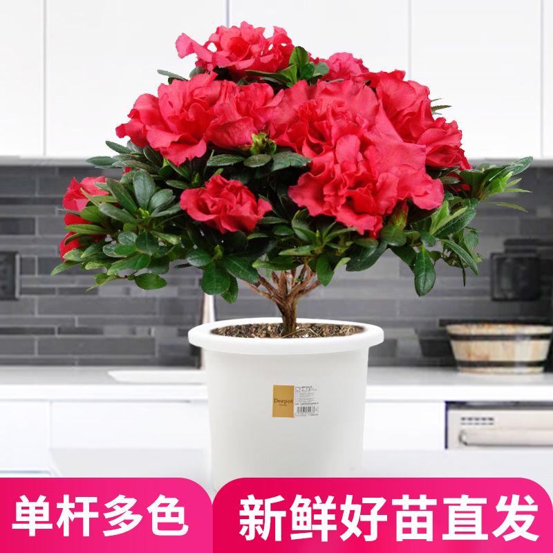 杜鹃花盆栽绿植室内带花苞好养的花常年四季开花不断观花花卉大颗