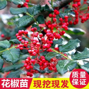 花椒苗树无刺当年结果盆栽地栽食用四川汉源嫁接大红袍花椒树苗