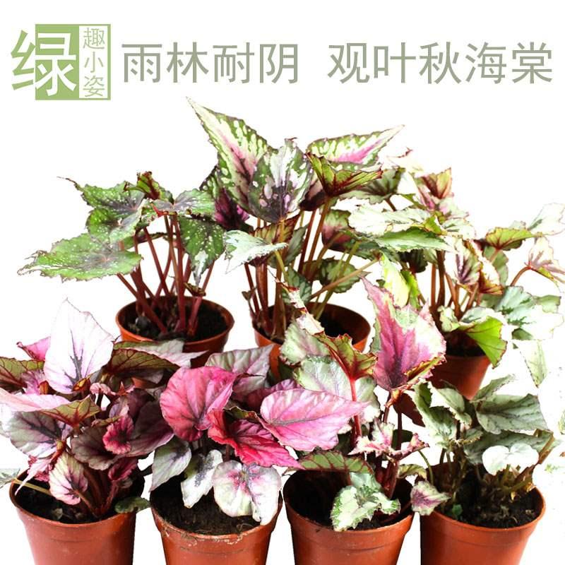 蛤叶观叶秋海棠 水陆雨林缸DIY造景彩叶植物室内彩色观叶绿植盆栽
