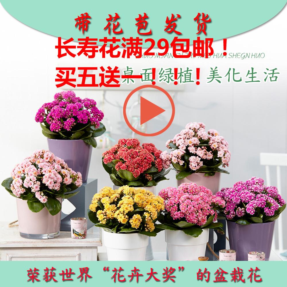 多肉植物套餐长寿花盆栽四季开花