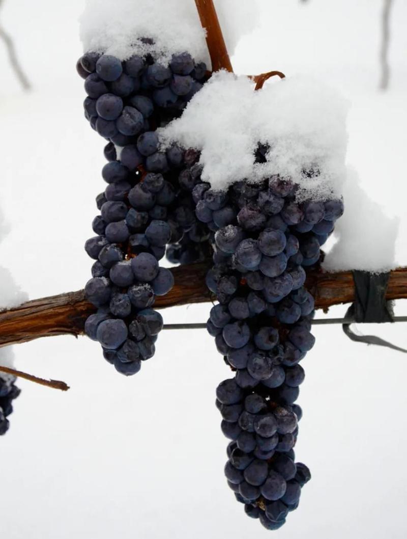 北冰红葡萄苗冬天不下架南北方四季种植果树嫁接耐寒葡萄种苗果苗