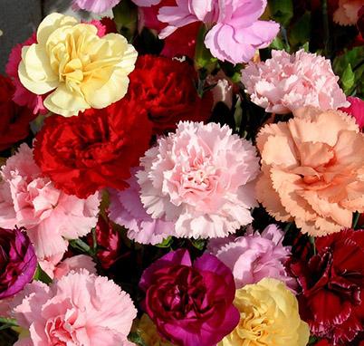 康乃馨种子 四季播易种花卉香草种子 室内阳台庭院花卉植物种籽