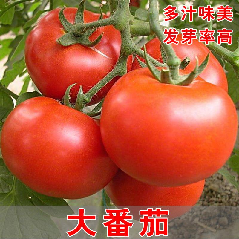 大番茄种子 水果西红柿菜籽春四季播种阳台蔬菜种子非转基因