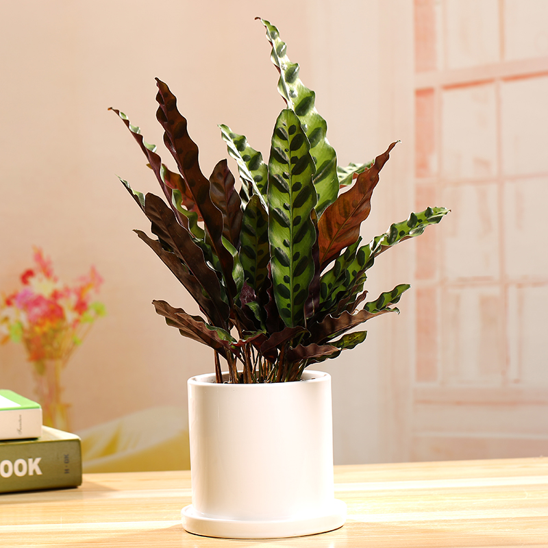 孔雀豹纹竹芋桌面小盆栽盆景办公室客厅书房卧室室内净化空气植物
