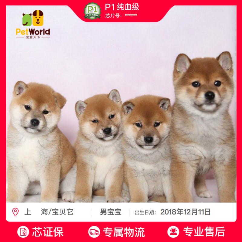 宠爱天下宝贝它 柴犬幼犬纯种活体小黑白柴犬宠物狗狗活体 送保险