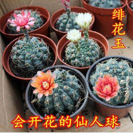 (用7.3元券)绯花玉开花的仙人球盆栽仙人掌室内多肉植物办公室电脑绿植防辐射