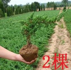 。包邮迎客松盆景室内盆栽四季常青耐寒植物松树盆景办公室摆件盆