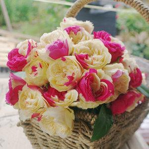 灌木月季风月切花月季四季开花大花阳台庭院双色玫瑰盆栽浓香抗病