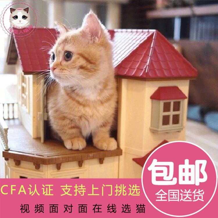 曼赤肯短腿猫 曼基康矮脚猫 拿破仑全白净梵矮脚猫活体宠物猫幼猫