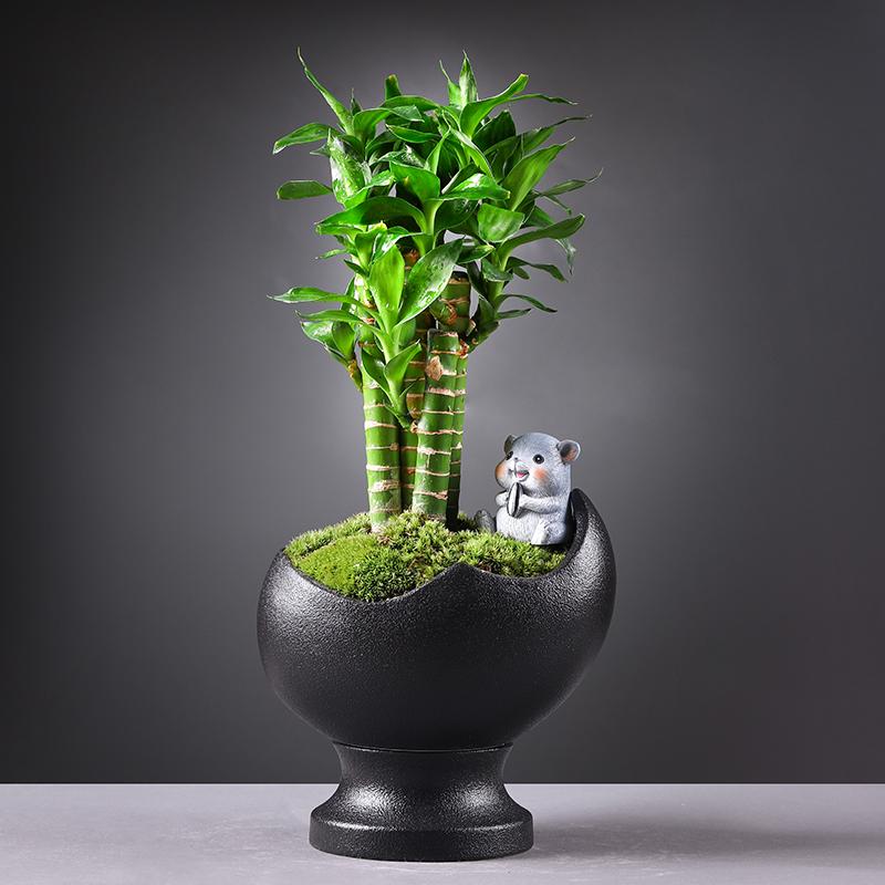 富贵竹清香木盆栽驱蚊植物懒人自动吸水盆景桌面绿植室内好养易活