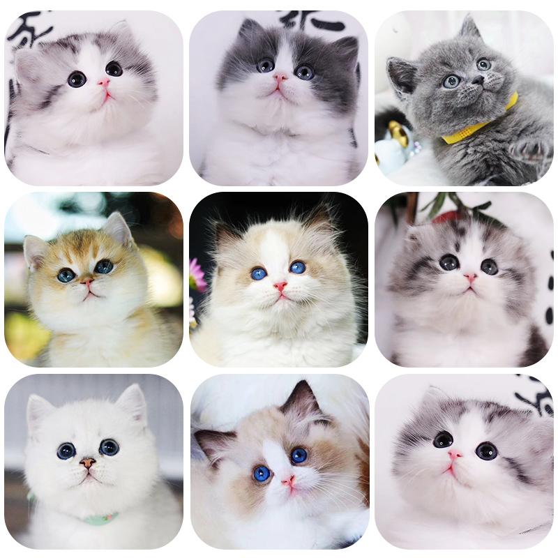 英短折耳蓝猫美短蓝白暹罗布偶金吉拉银渐层幼猫活体宠物猫咪活物图片