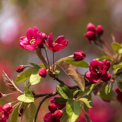海棠树苗四季开花庭院大型好养盆栽花苗日本西府海棠花耐寒植物