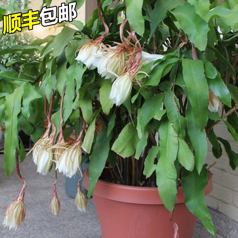 四季昙花苗室内阳台植物盆栽观花绿植桌面盆景浓香型月下美人一现