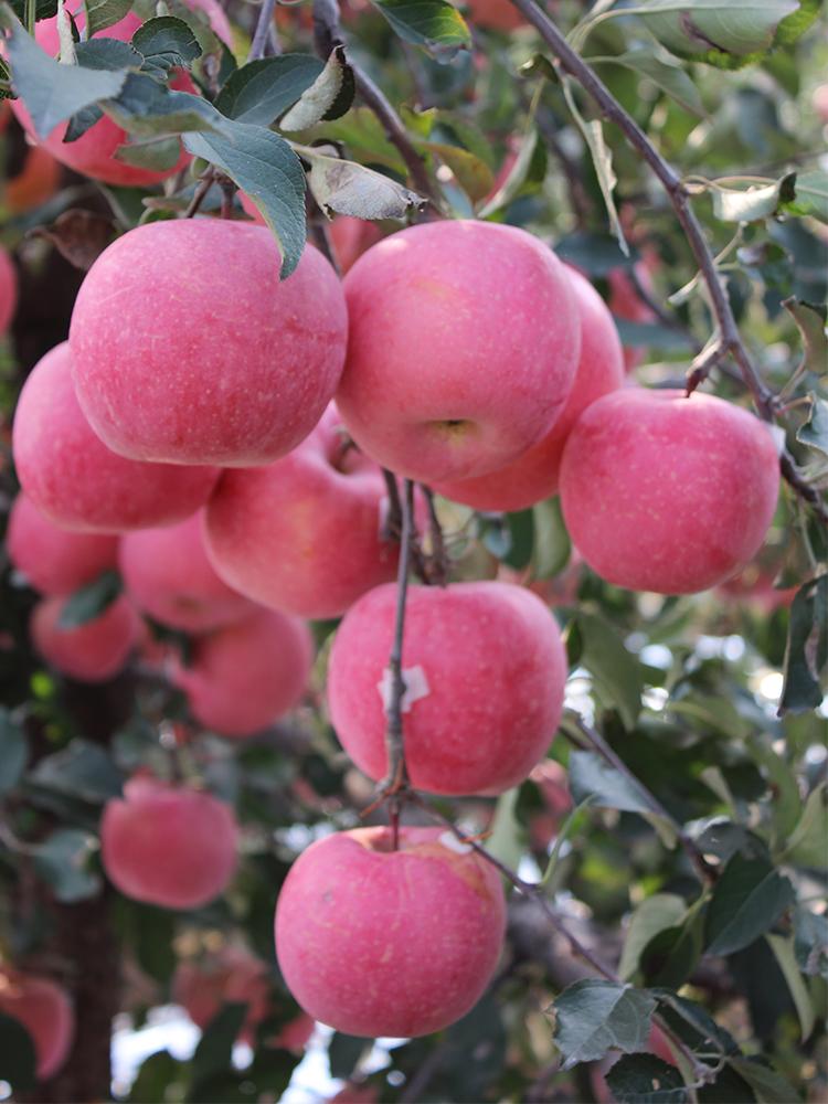 新鲜苹果水果红富士正宗山东栖霞脆甜当季吃的一整箱5斤烟台萍果