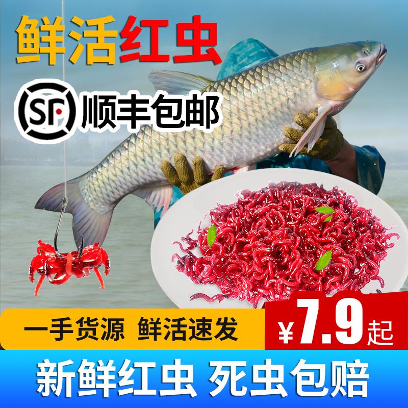 鮮活紅蟲特大號公蟲活體活餌喂魚餌拉餌鯽魚野釣餌料釣魚天津紅蟲