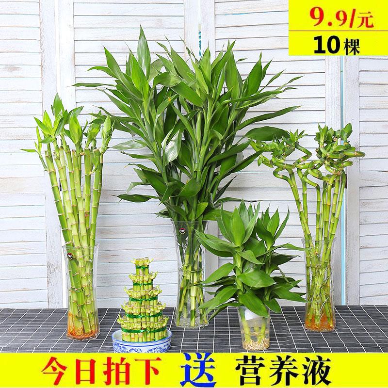 室内水培植物富贵竹桌面盆栽转运竹大叶竹四季常青观音竹好养花卉