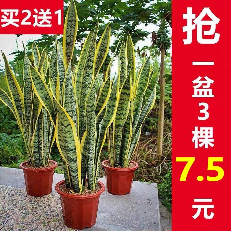 金边虎皮兰植物室内大型吸甲醛绿植小盆栽花卉虎尾兰裸苗多肉植物