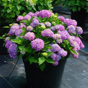 绣球花紫阳花八仙花粉团花紫绣球成都绣球花苗,500棵起售