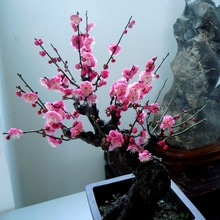 Garden flower, wintersweet, potted plant, sapling, red plum, potted landscape, black plum, green plum, white plum, plain heart, plum, seedling, beauty plum