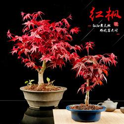 日本红枫红舞姬老桩盆景四季红枫盆景红枫树苗客厅室内盆栽植物